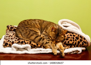 Bengali cat sleeping. Prionailurus bengalensis. Bengal cat.