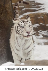 Bengali(white) tiger is a rare and endangered tiger. Bengal tiger inhabits in North and Central India.