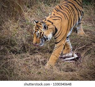 Bengel tiger walking in Ranthambhore National Park