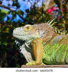 BENICIA, CALIFORNIA - OCTOBER 3, 2010: Picture of iguana taken on October 3, 2010, in Benicia, California, with blue sky and flower in background.