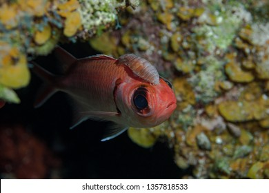 A benign scavenging Cymothoid Isopod hitching a ride on a Squirrelfish