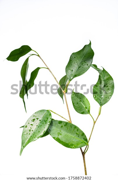 Benjamin ficus on a white background. Young seedling. Isolated from background. Home flower growing. Potted plants. The decoration of the apartment. Young, green leaves.