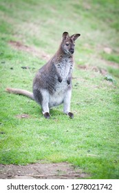 Bennets wallaby sitting in the grass