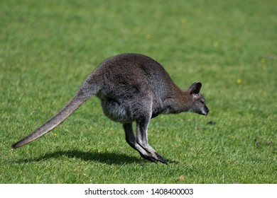 A Bennett Wallaby, native of the east coast of Australia and Tasmania, sometimes called the Red-necked Wallaby, is a species that has mainly grey coat with reddish shoulders and a black nose and paws.