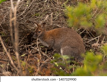 Bennetts Wallaby, Macropus rufogriseus rufogriseus, is found in Tasmania and is subspecies of the Red-necked Wallaby found on the Australian mainland.