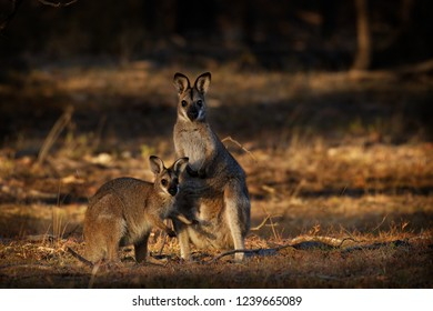 Bennett's wallaby - Macropus rufogriseus - red-necked wallaby  medium-sized macropod marsupial, common in the more temperate parts of eastern Australia, including Tasmania.