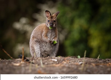 Bennett's wallaby - Macropus rufogriseus, also red-necked wallaby, medium-sized macropod marsupial, common in eastern Australia, Tasmania, introduced to New Zealand, England.