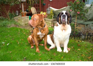 Benson, an 11 month old French Mastiff (Dogue de Bordeaux) sits in the garden with his best friend and housemate Gracie, a beautiful Saint Bernard, in their garden in England.