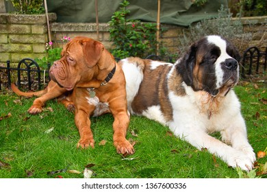Benson, an 11 month old French Mastiff (Dogue de Bordeaux) lays in the garden with his best friend and housemate Gracie, a beautiful Saint Bernard, in their garden in England.