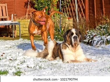Benson, a French Mastiff (Dogue de Bordeaux) pulls a funny face as he plays with his housemate Gracie, a Saint Bernard, in the snow covered garden.