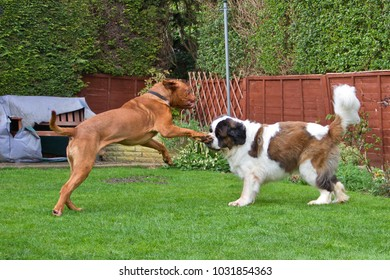 Benson, our French Mastiff dog (Dogue de Bordeaux) plays with his housemate Gracie a Saint Bernard, in the garden.