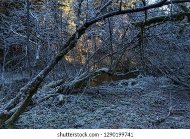 Bent alder trees with winter frost by the Salmon River in Southeast Alaska with a glow of sunlight in the background.