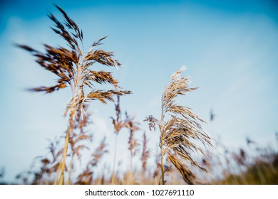 Bent grass in blue sky background