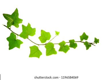 Bent green twig of ivy isolated on white background
