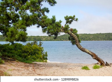 Bent pitch pine, Pinus rigida, on a sandy beach of Cliff Pond in Nickerson State Park, on Cape Cod in Brewster, Massachusetts.