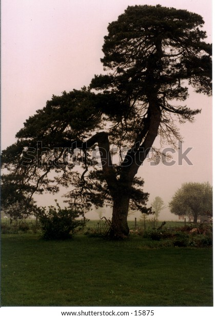 Bent tree with antique plow at base, background fading into mist