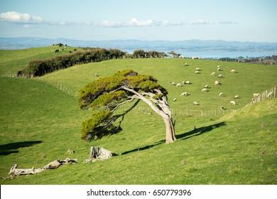 A bent tree growing on New Zealand farmland