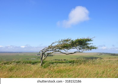 Bent and windswept Tree Shaped by Constant Wind at jurassic coast of England