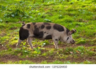 Bentheim Black Pied pig runs across a green meadow on a sunny summer day