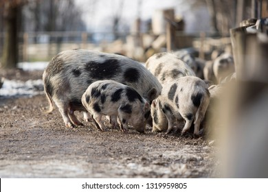 Bentheimer pigs in a park in springtime