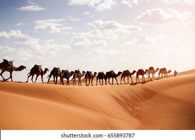 Berber with Caravan Camel, Sahara Desert, Morocco At Sunrise