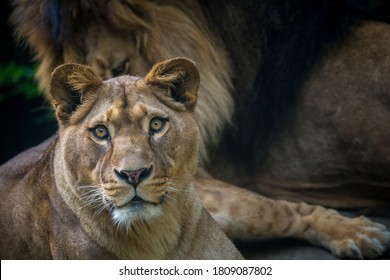 Berber lion portrait in nature park