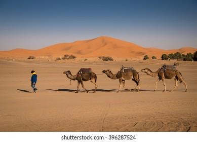 Berber man leading camel caravan, Hassilabied, Sahara Desert, Morocco