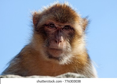Berber monkey looks at the photographer who is photographed below him