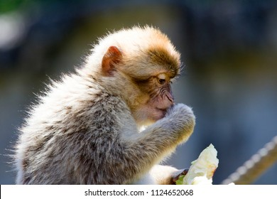 Berber monkey looks at something he is going to eat