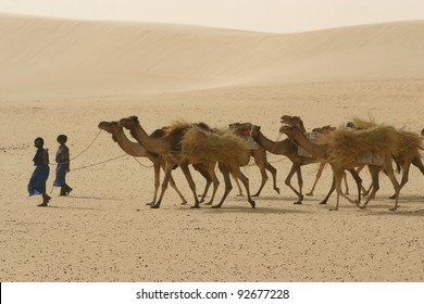 Berber nomads leading a camel caravan hauling salt through the Sahara Desert to Timbuktu, Mali