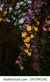 Berberis , japanese barberry ornamental flowering shrub, beautiful small yellow petal flowers in bloom, purple reddish leaves.
