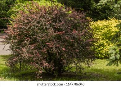Berberis thunbergii atropurpurea 'Golden Ring' in the garden