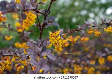 Berberis thunbergii japanese barberry ornamental flowering shrub, group of beautiful small yellow petal flowers in bloom, purple reddish leaves