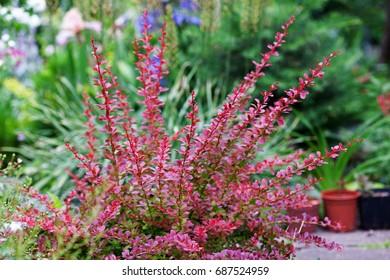 Berberis thunbergii Red Carpet ornamental perennial shrub in the garden landscape