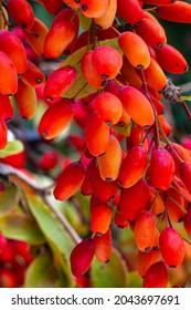 Berberis vulgaris or Berberis thunbergii Latin Coronita plant. Red Berberis Fruits on branch in autumn garden, close up, macro. Ripe European barberry berries ready for harvesting.