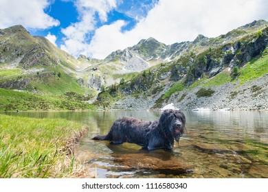 Bergamasco shepherd dog bathing in alpine lake.