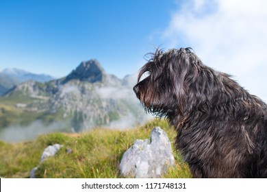Bergamasco shepherd dog in the mountain pastures.