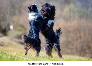 Bergamo shepherd and border collie play together
