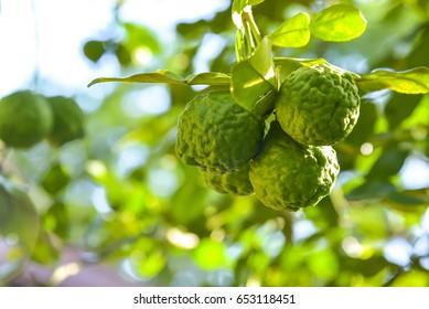 Bergamot and green leaf on tree