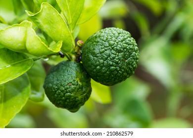 bergamot (Kaffir Lime) fruits