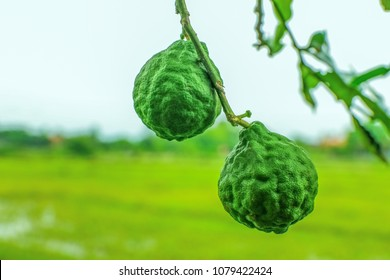 Bergamot and  leaf  on Tree , bergamot (Kaffir Lime), Smelly leaves aroma, commonly used as a Spicy food ingredient.