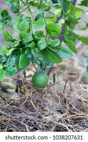 Bergamot leaves on the tree, (Kaffir Lime), Smelly leaves aroma, is a herbal treatment and cooking.
