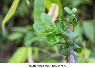 Bergamot leaves on the tree, (Kaffir Lime), Smelly leaves aroma,
