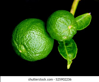 Bergamot orange (Other names are Kaffir lime, Citrus Bergamia, Magnoliophyta lime, Rutaceae Bergamot, Bergamotto) hanging fruit with leaf isolated on black background