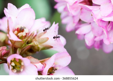 Bergenia ciliata (Elephant ear) - plant with beautiful pink flowers