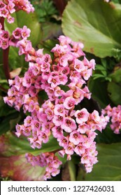 Bergenia cordifolia purpurea pink flowers