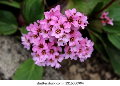Bergenia or Elephant eared saxifrage or Elephants ears rhizomatous evergreen perennial flowering plant with dense bunch of small pink flowers surrounded with dark green leaves in local garden