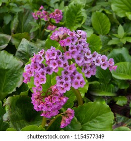 Bergenia rotblum (Elephahant's Ears) in a Country Cottage Garden in Rural Devon, England, UK