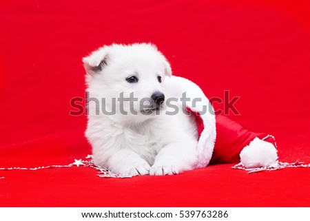 Berger Blanc Suisse Puppy Christmas Hat Stock Photo Edit Now
