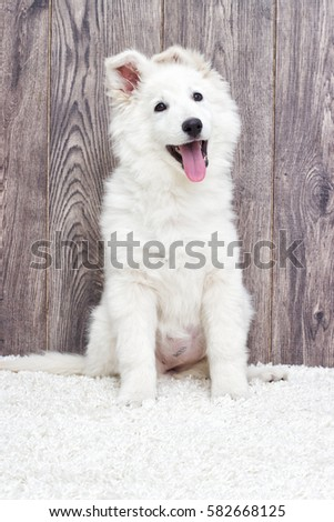 Berger Blanc Suisse Puppy Fluffy Carpet Stock Photo Edit Now